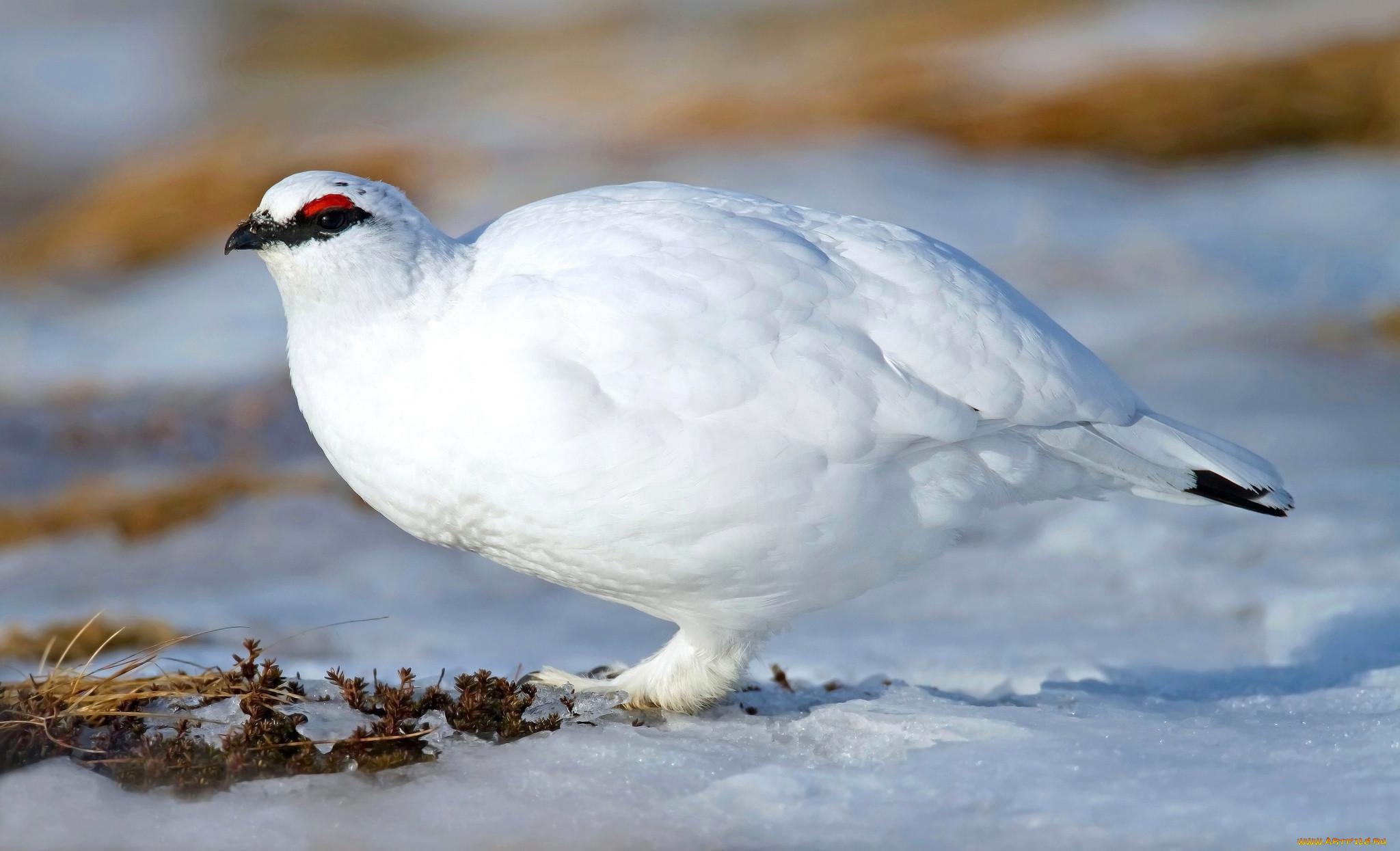 законопроект животные птицы тундры фотографии стоимостью услуги закажите